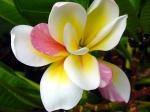fiore_doppio